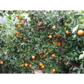 Naranjas de Zumo 5 Kg