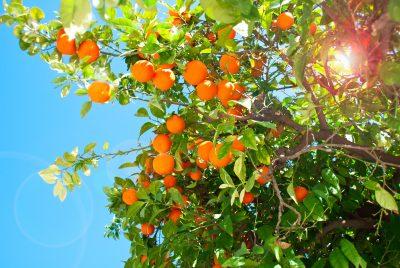 Temporada de las naranjas