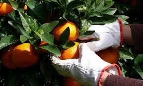 Naranjas frescas recién recolectadas